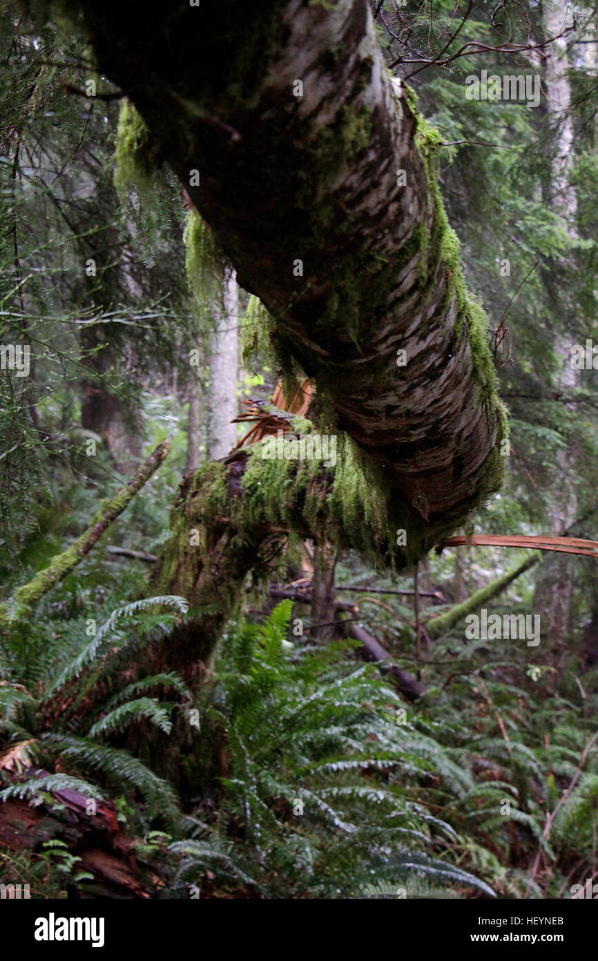 Tree leaning over with dropping moss. - Stock Image