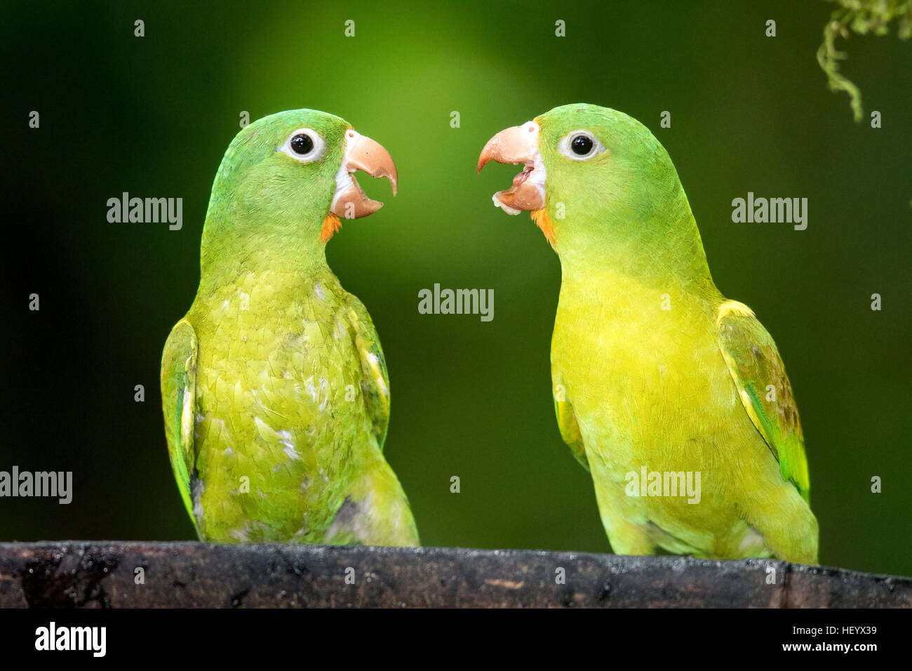 Orange-chinned Parakeets - Boca Tapada, San Carlos, Costa