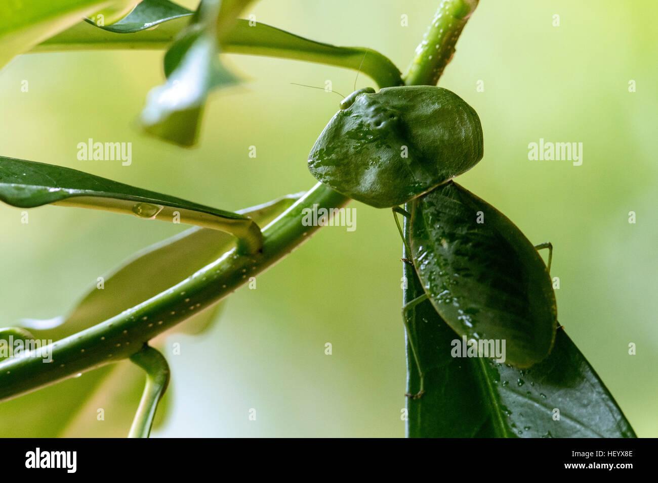 Green Leaf-mimic Praying Mantis - Laguna del lagarto Lodge, Boca Tapada; Costa Rica - Stock Image