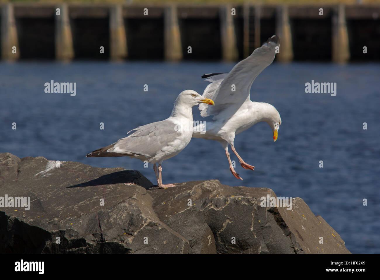 A pair of Herring gulls Stock Photo