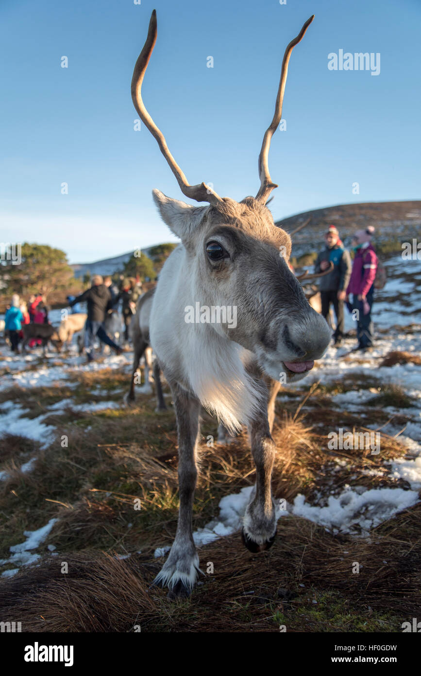 Female reindeer being fed in winter snow at the Reindeer Centre at Aviemore, Cairngorms, Scotland. - Stock Image