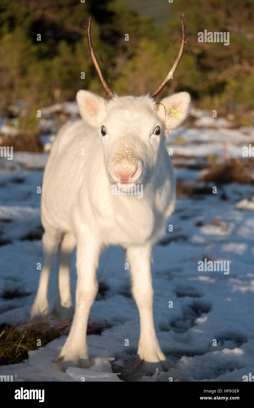 six month old reindeer calf in the snow at the Reindeer Centre at Aviemore, Cairngorms, Scotland. - Stock Image