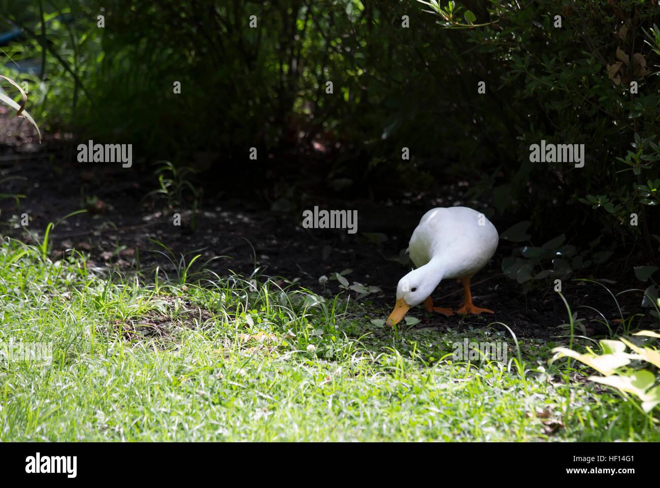 American Pekin duck in summer foliage - Stock Image