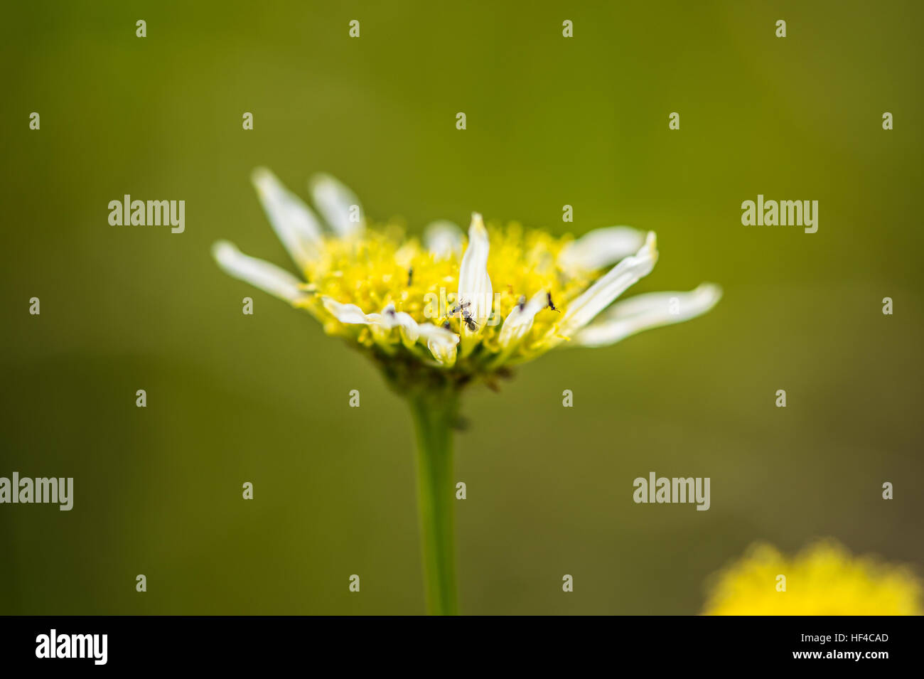 Tiny Bugs On A Small White And Yellow Flower Close Up Stock Photo