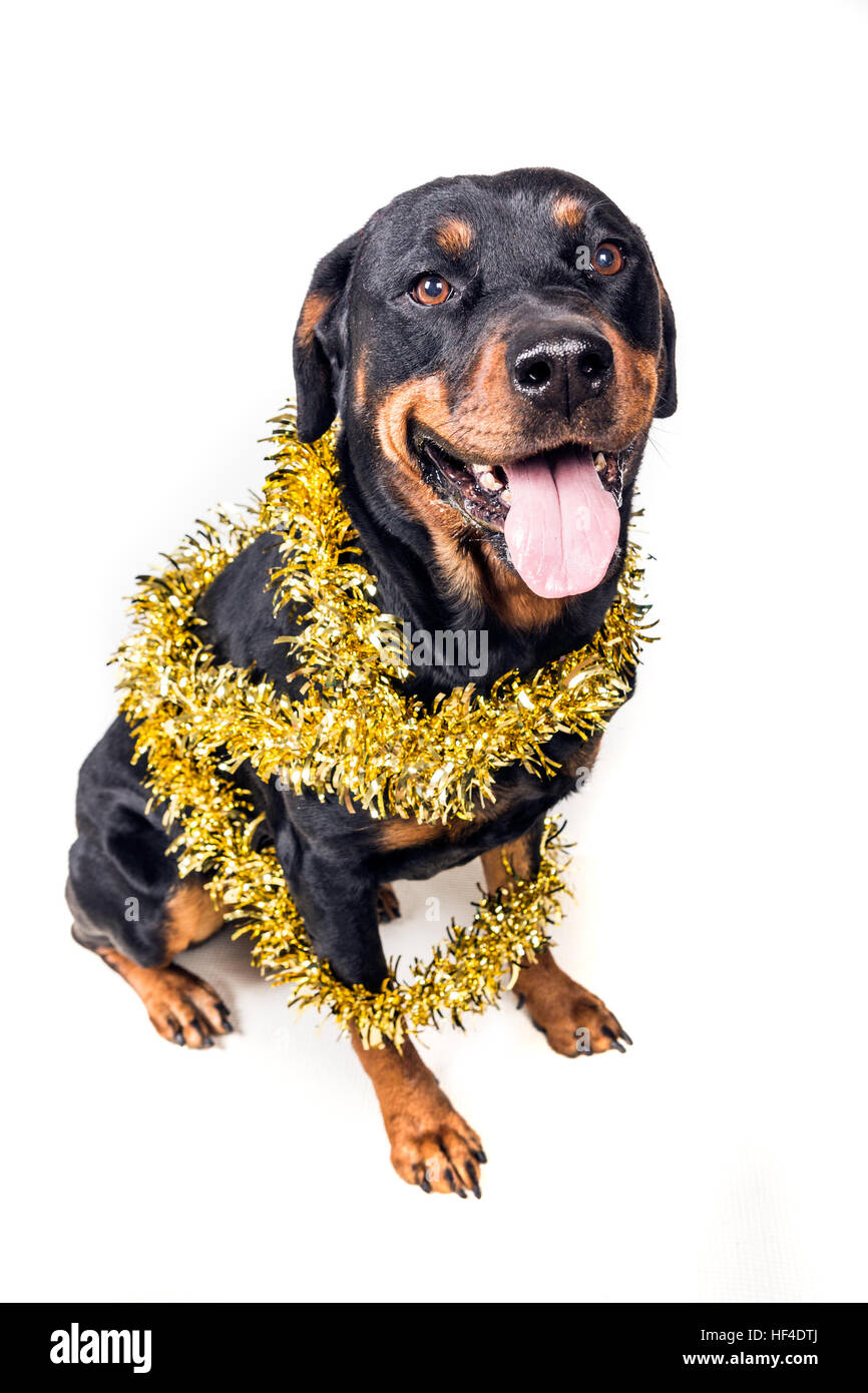 Festive dog in party tinsel isolated on white background - Stock Image