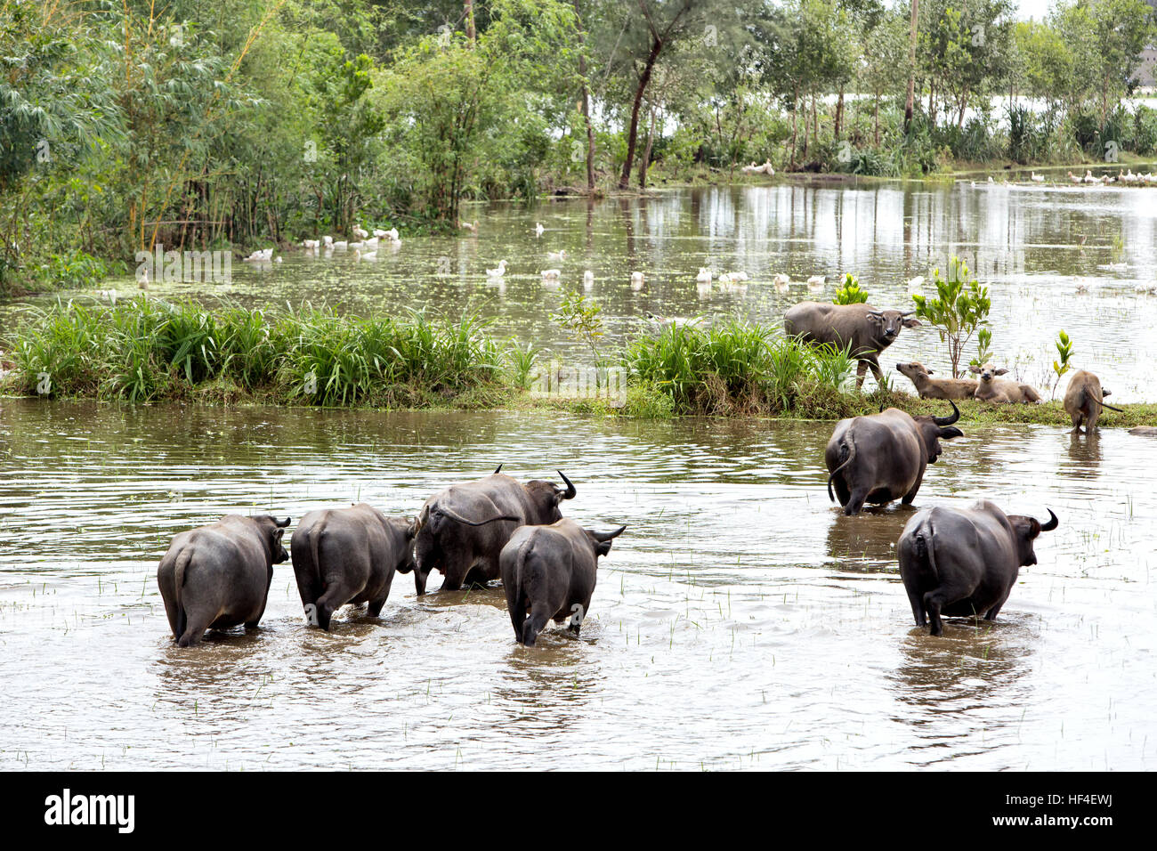 Water Buffaloes grazing in flooded rice field. - Stock Image