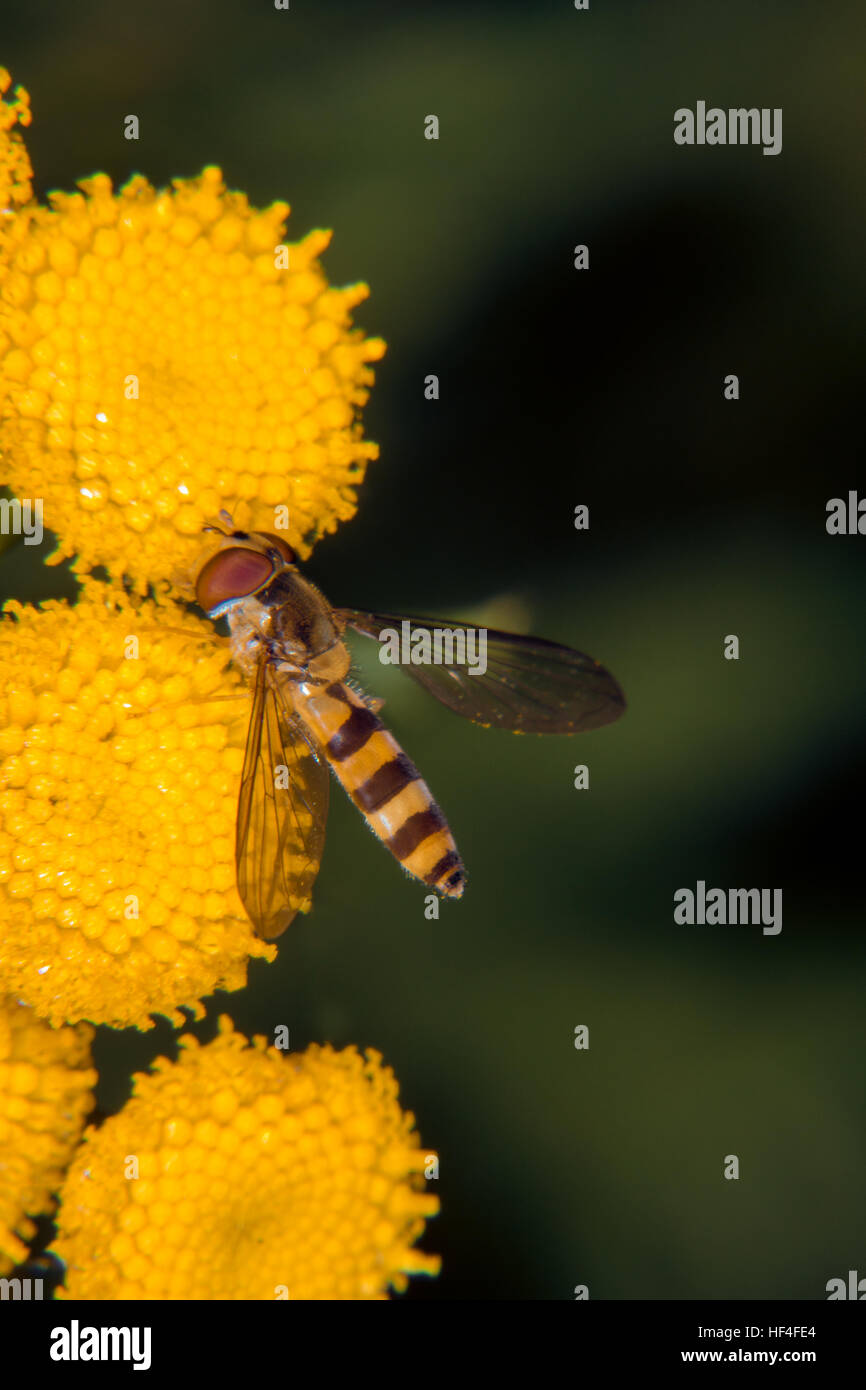 Yellow flower gets visit from fruit fly Stock Photo