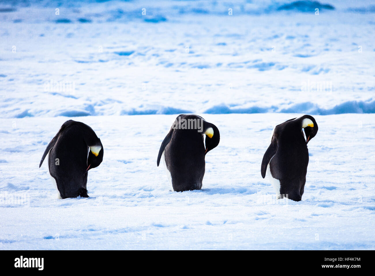 Three Emperor penguins preening, cleaning and replenishing the oils on their feathers. Antarctica - Stock Image