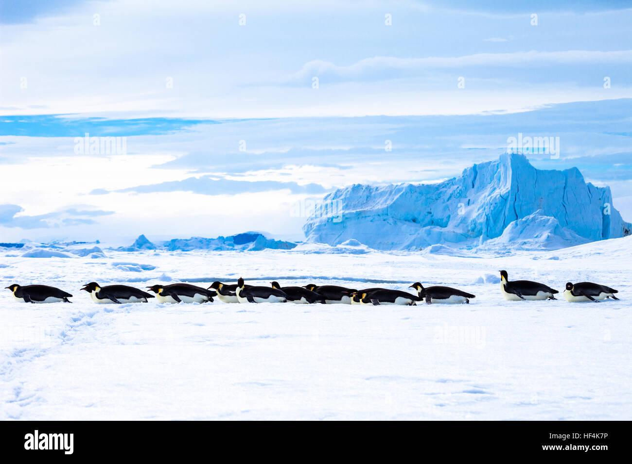 Emperor Penguins toboggan across the fast ice, Antarctica - Stock Image