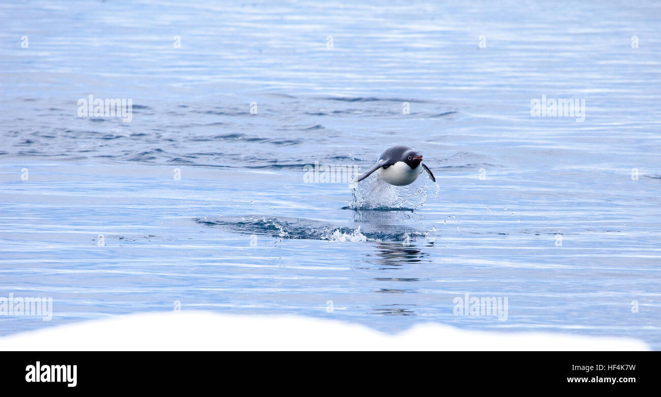 An Adelie penguin leaps out of the water. Porpoising is a much more efficient and quick way to travel versus simply - Stock Image