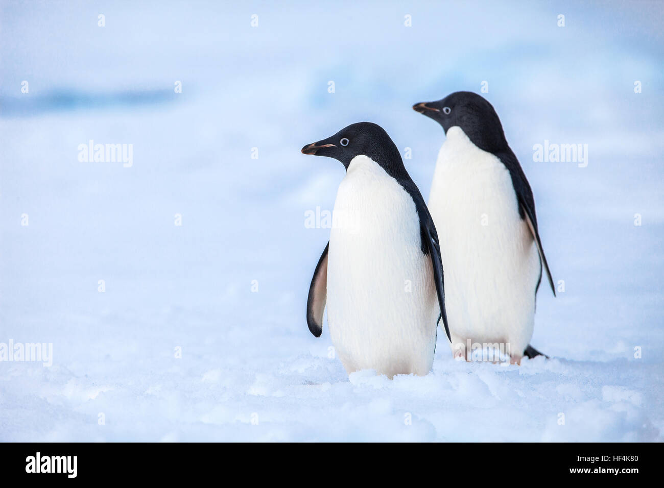 Two Adelie penguins keeping a careful watch out for predators - Stock Image