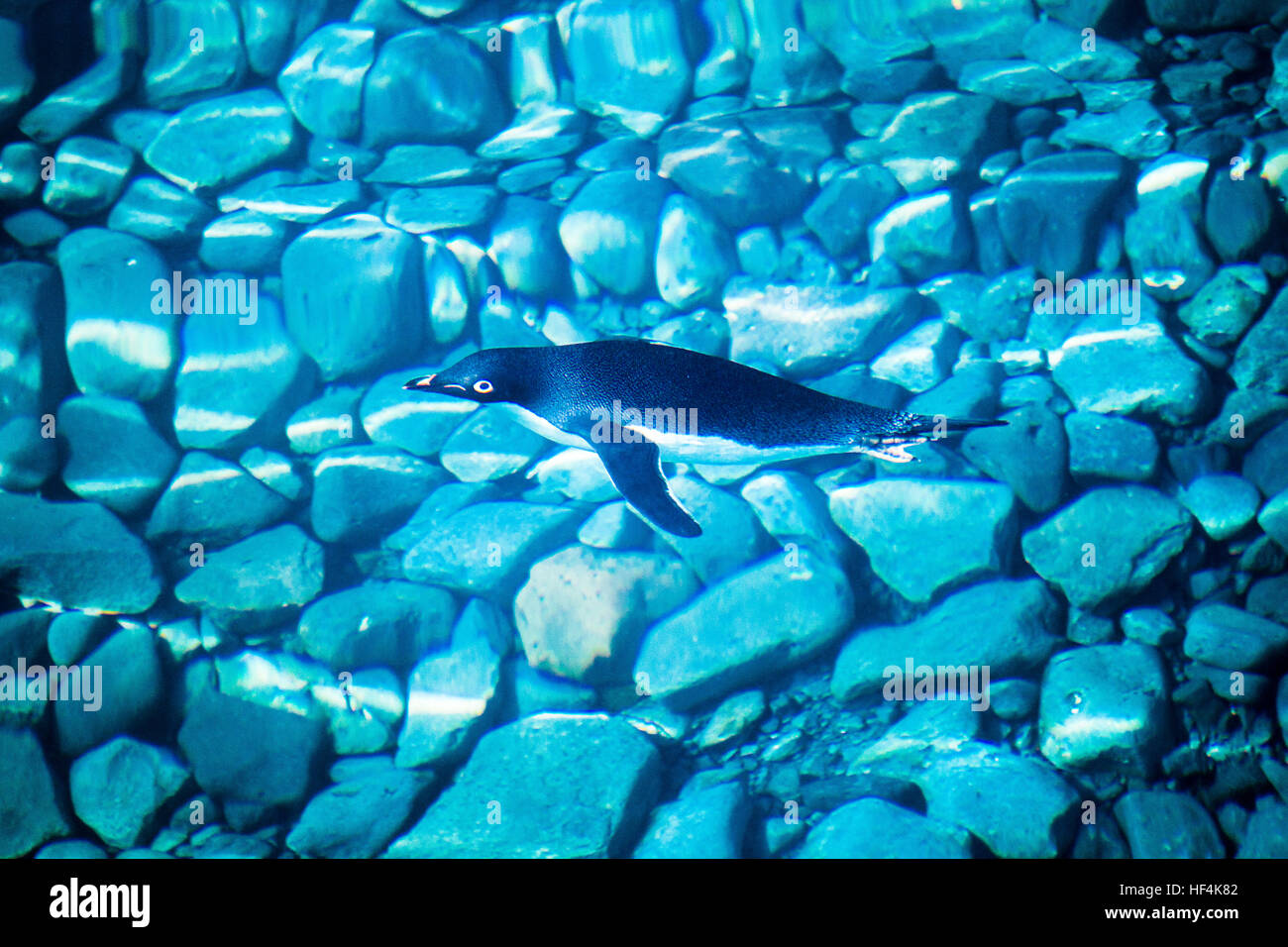 An Adelie penguin swims through the clear blue waters off Paulet Island, Antarctica - Stock Image