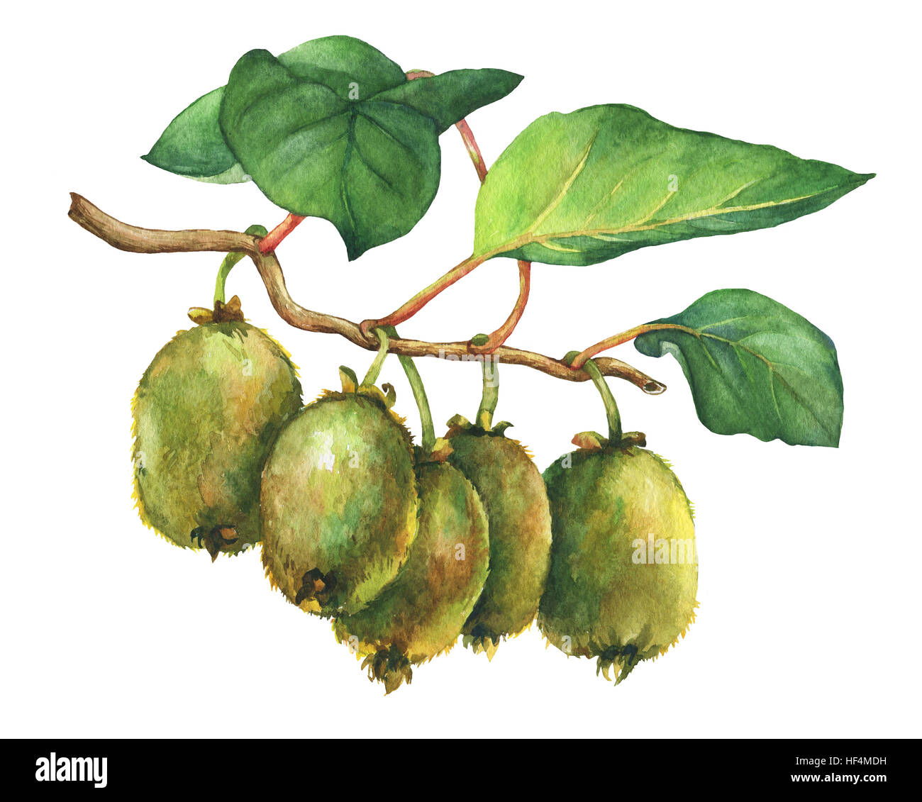 Illustration of kiwi plant (Actinidia chinensis) a branch with leaves and fruits. Hand drawn watercolor painting - Stock Image