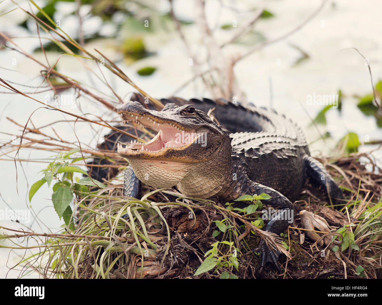 American Alligator Basking with its Mouth Open - Stock Image