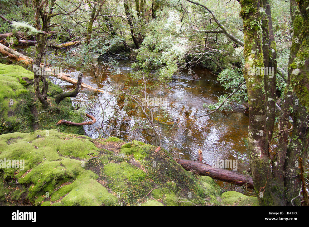 Wet eucalypt forest Tasmania - Stock Image