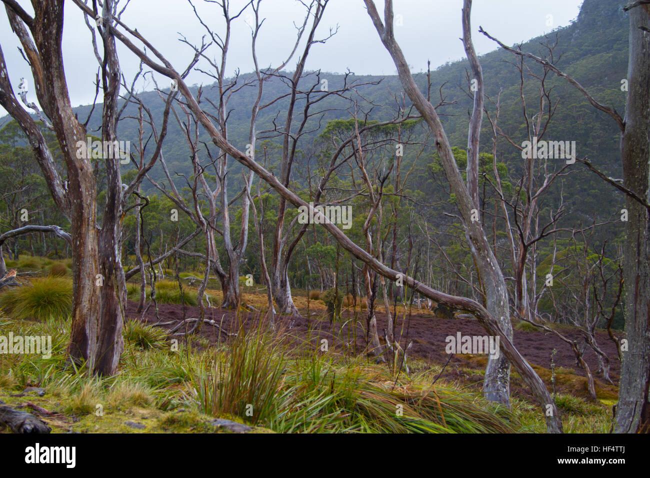 Dry forest view, Tasmania, Australia - Stock Image