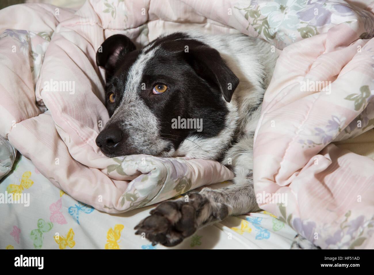 Jasper the Australian Blue Heeler dog sleeping under duvet-Victoria, British Columbia, Canada. - Stock Image