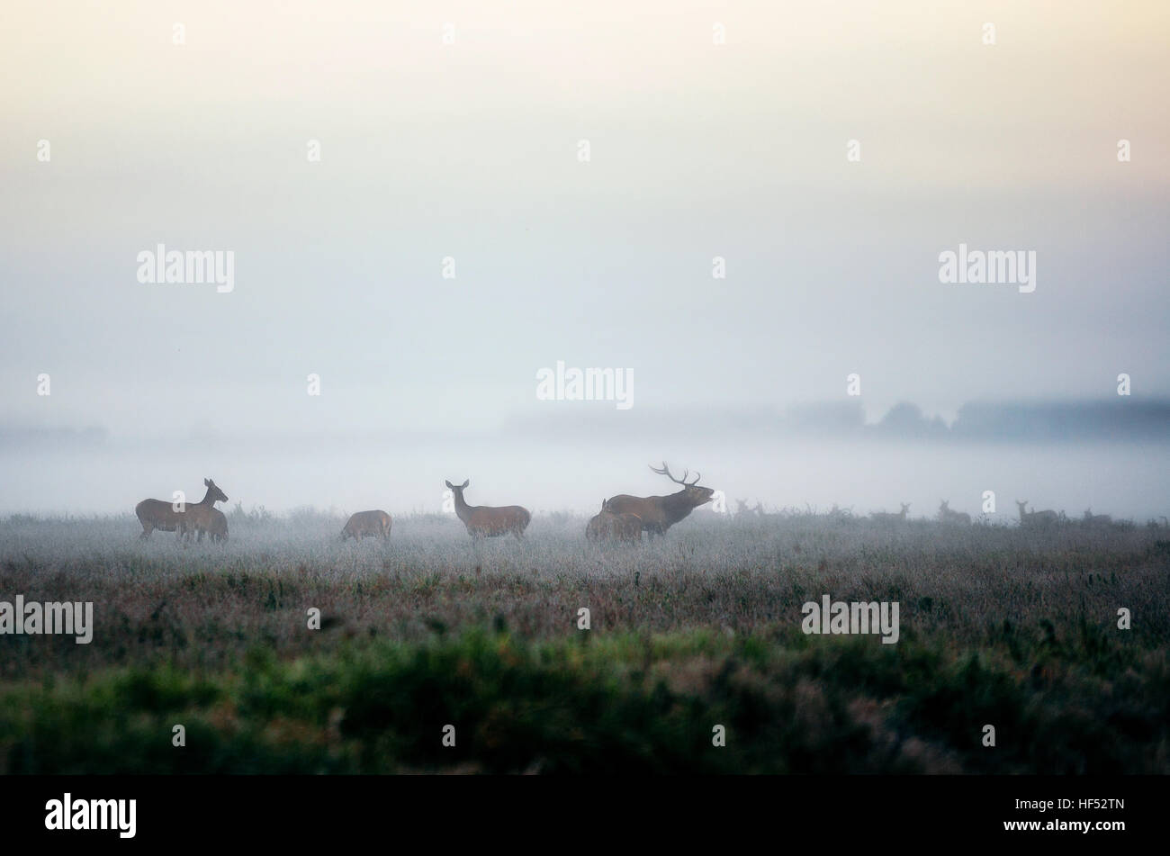 Red deer stag lures female deer. Herd of red deer on the misty field in the morning during the rut in Belarus - Stock Image