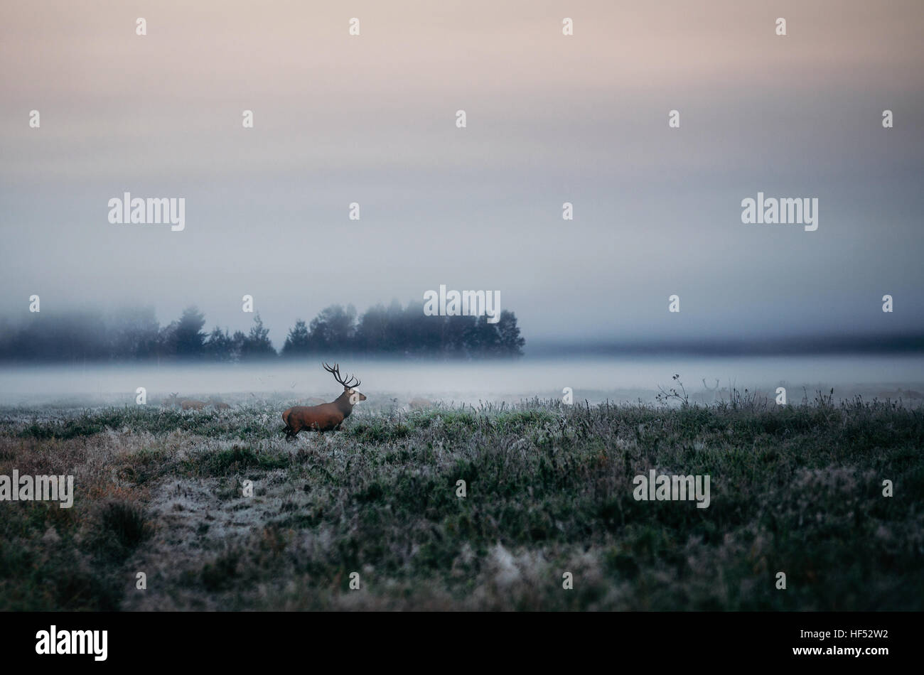 Beautiful red deer stag on the field near the foggy misty forest landscape in autumn in Belarus. - Stock Image