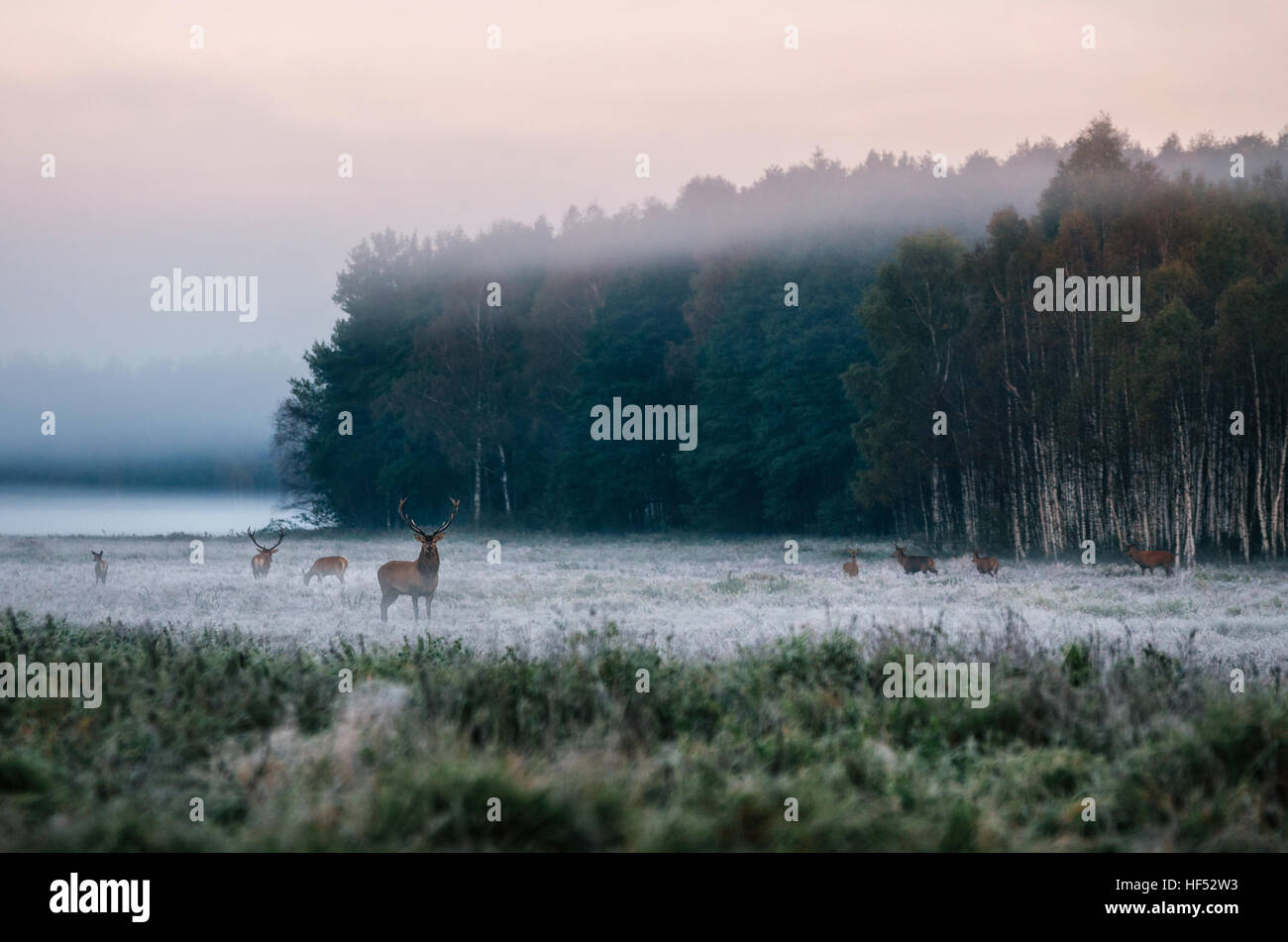 Red deer leader and herd on the snowy field against the misty forest  in the early morning during the rut in Belarus - Stock Image