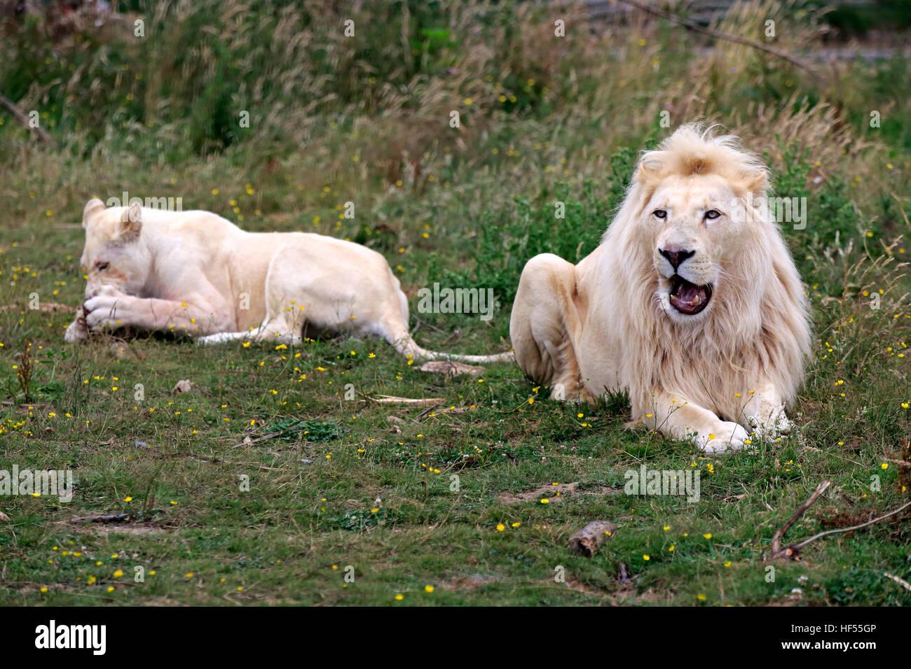 Lion, White Form, (Panthera leo), adult couple, female feeding, Africa Stock Photo