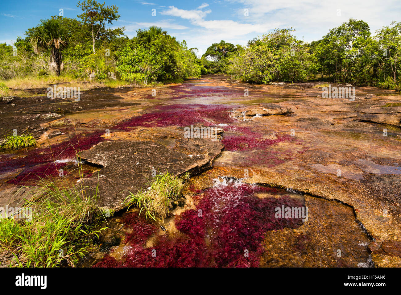 Crystal Channel with red water plants, Caño Cristales, feature of Los Ochos National Park, Parque Nacional - Stock Image