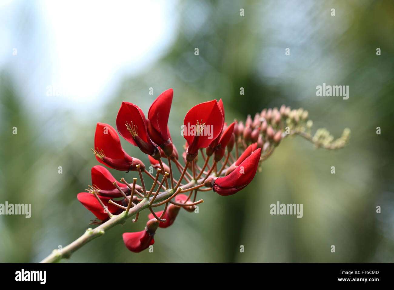 Cockspur Coral Tree - Erythrina Crista-Galli Stock Photo