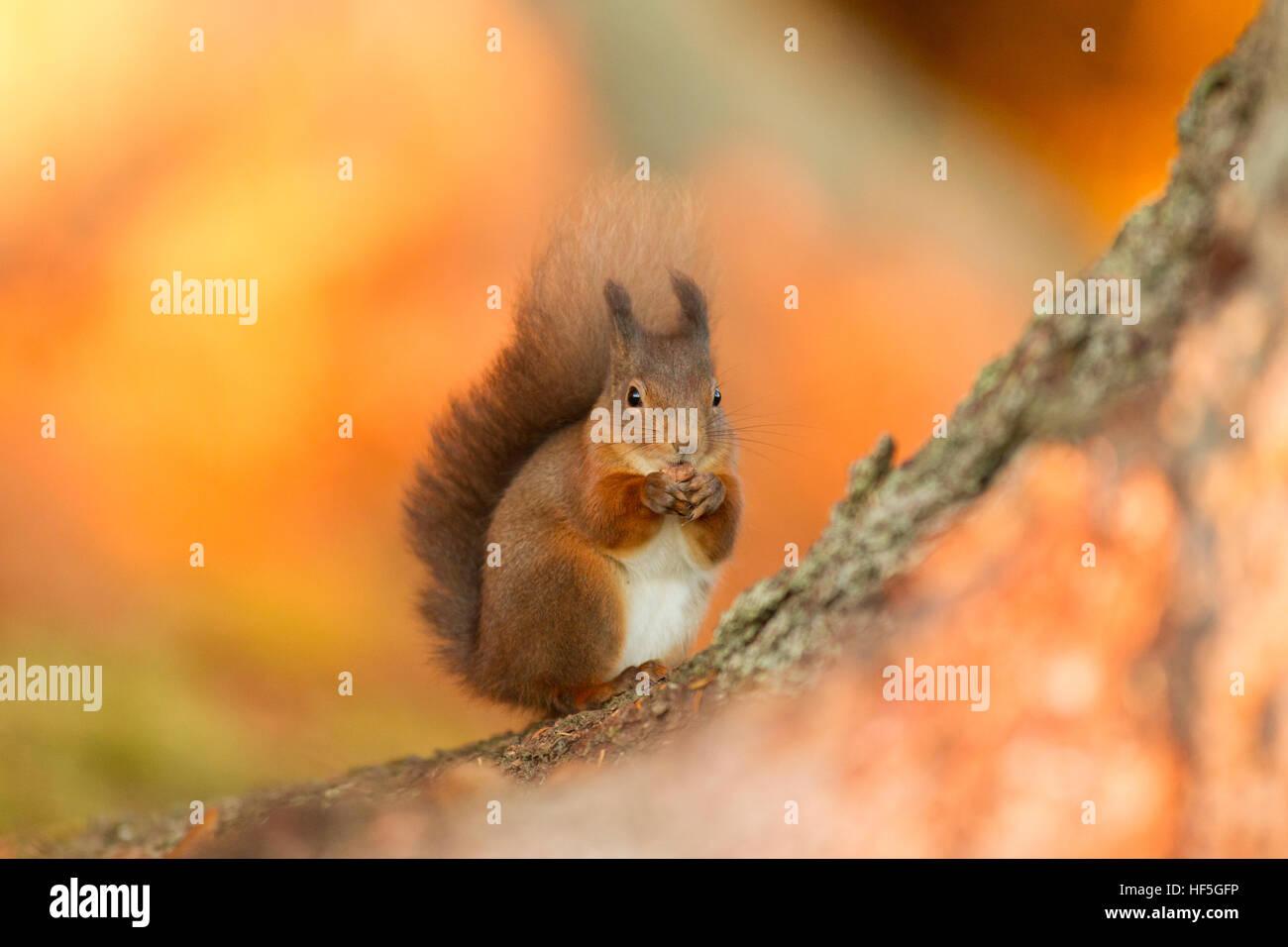 Eurasian Red squirrel (Sciurus vulgaris) feeding in autumnal setting. Highland.Scotland.Great Britain. - Stock Image