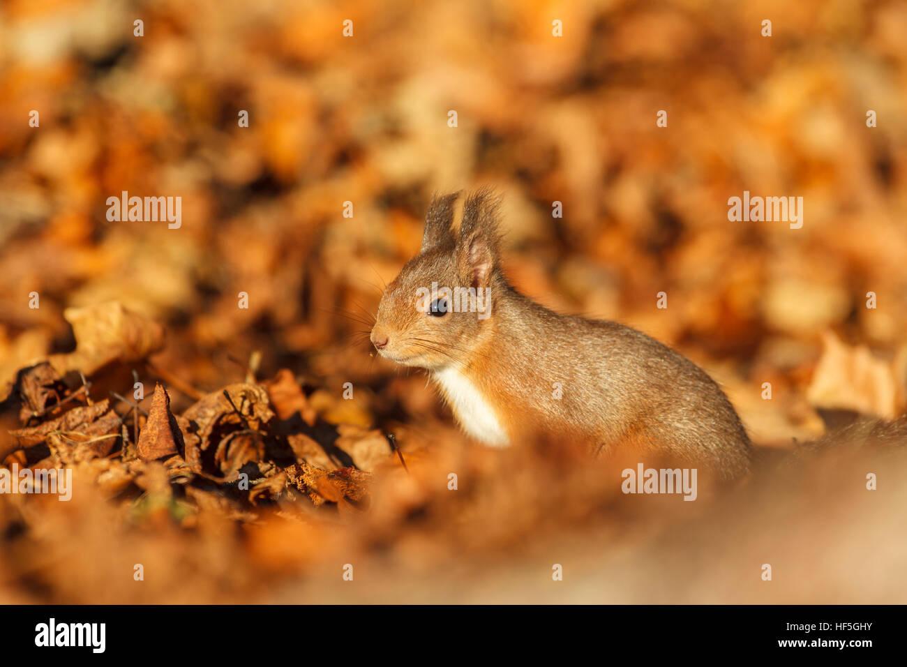 Eurasian Red squirrel (Sciurus vulgaris) feeding in autumnal setting. Highland.Scotland.Great Britain. Stock Photo
