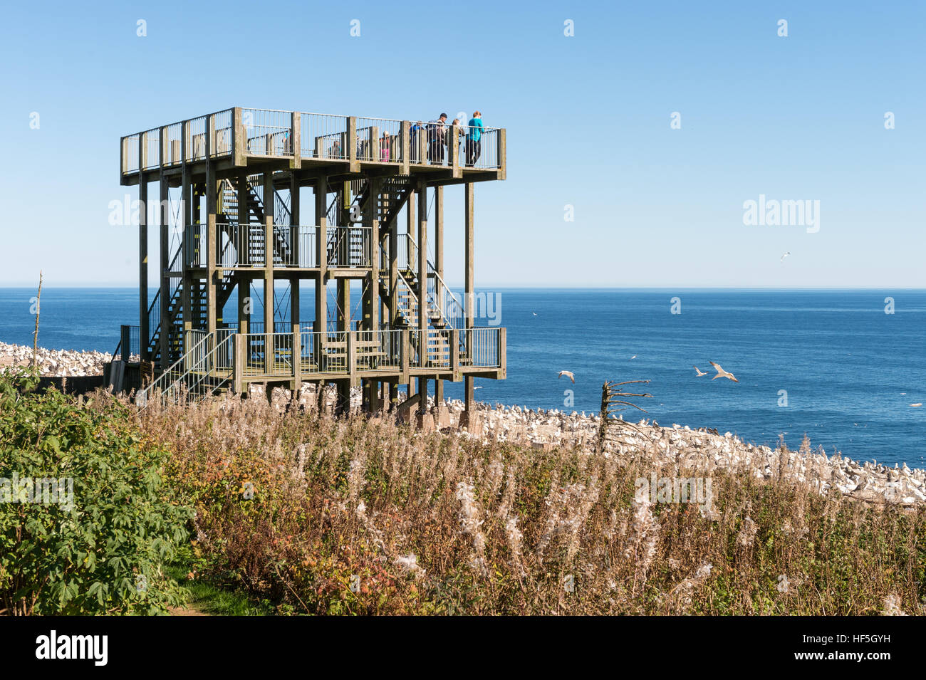 Northern gannet colony and observation tower on Bonaventure Island, Quebec, Canada - Stock Image