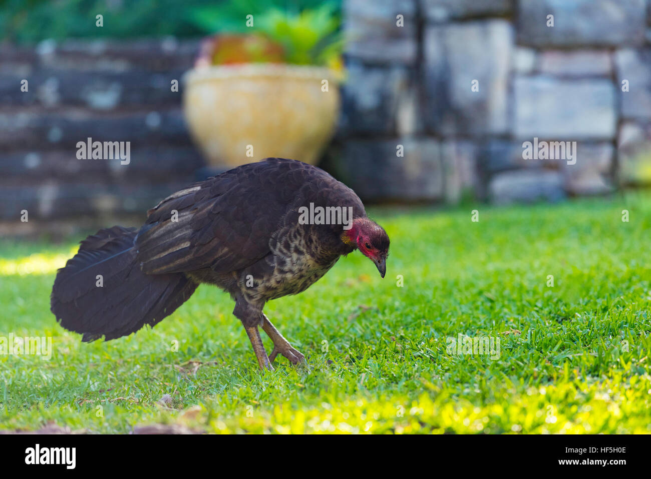 A female Australian Brush Turkey (Alectura lathami) also frequently called the scrub turkey or bush turkey, in a - Stock Image