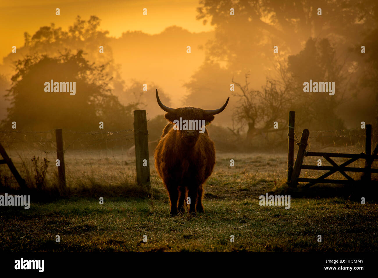 a highland cow at dawn - Stock Image