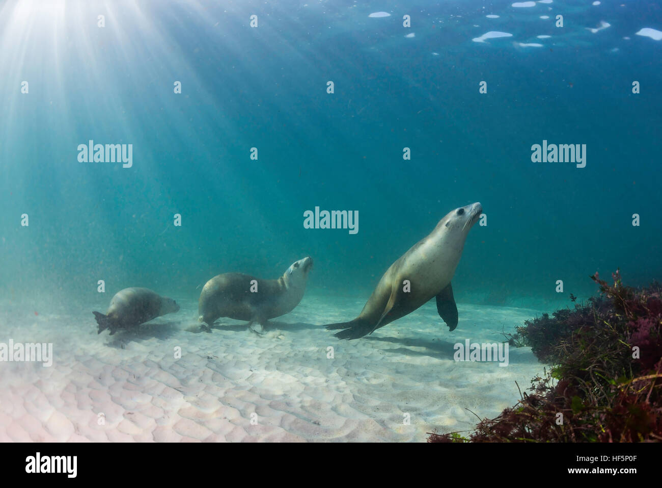 Group of Australian sea lions underwater view, Neptune Islands, South Australia. - Stock Image