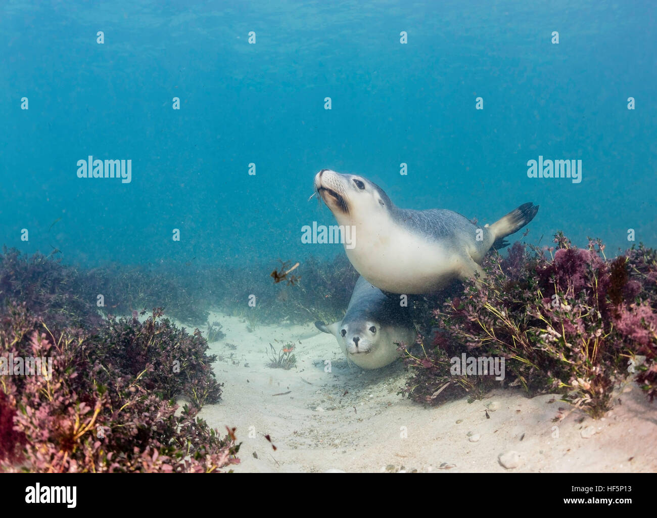 Australian sea lions playing on the ocean floor among the sea grass, Neptune Islands, South Australia. - Stock Image