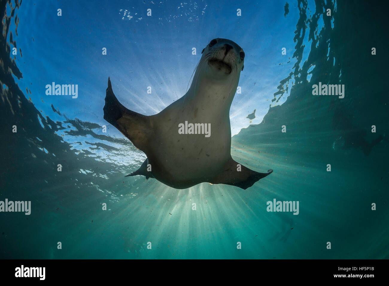 Australian sea lion underwater view, Neptune Islands, South Australia. - Stock Image