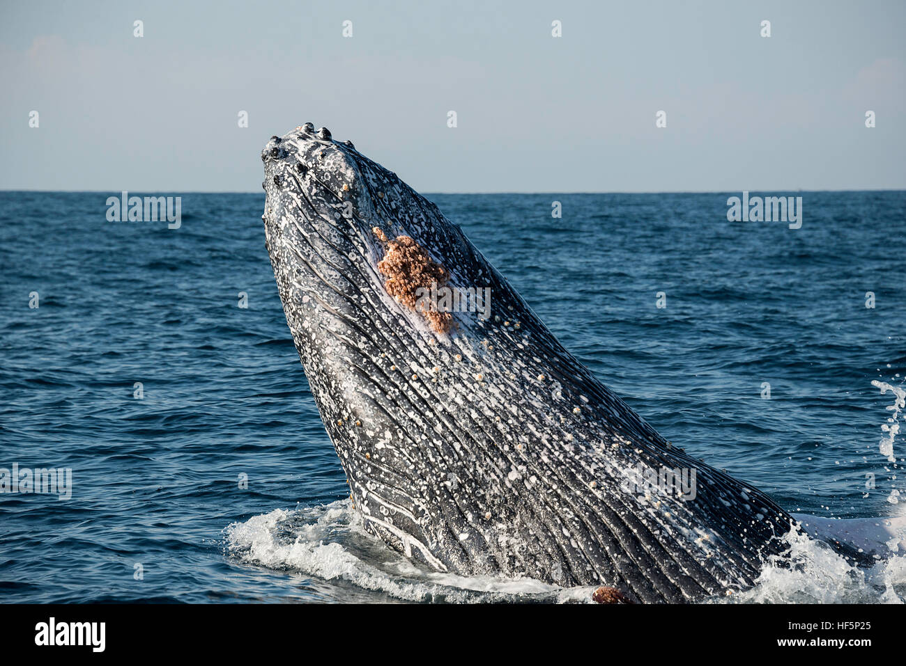 Humpback whale breaching off the east coast of South Africa during the winter months when they are migrating north - Stock Image