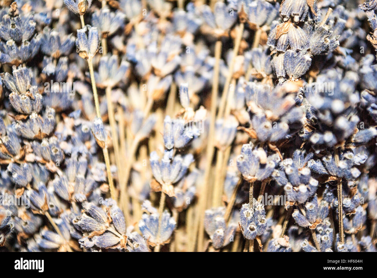 lavender stems close up - Stock Image