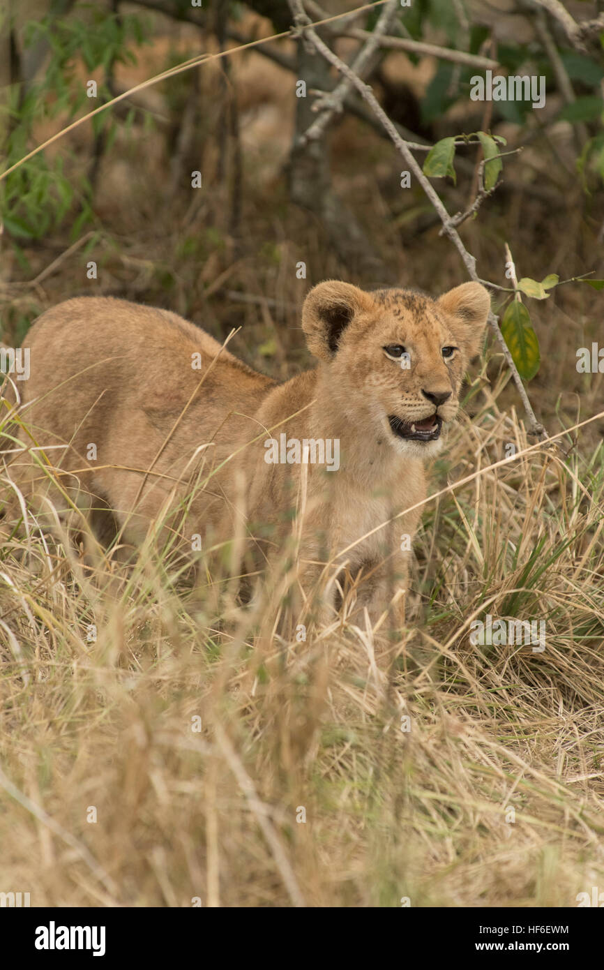 Young lion - Stock Image