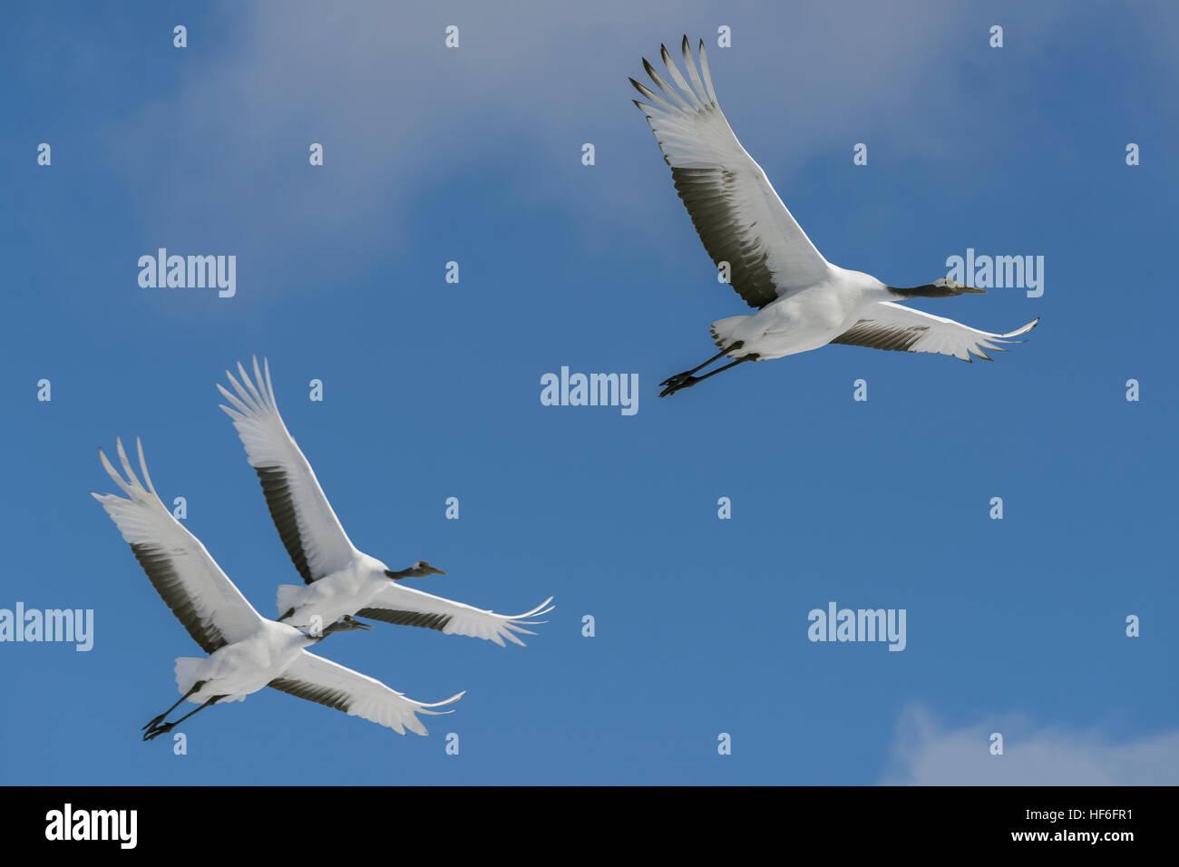 Red-crowned cranes in flight near Tsurui Ito Tancho Crane Sanctuary, Hokkaido, Japan - Stock Image