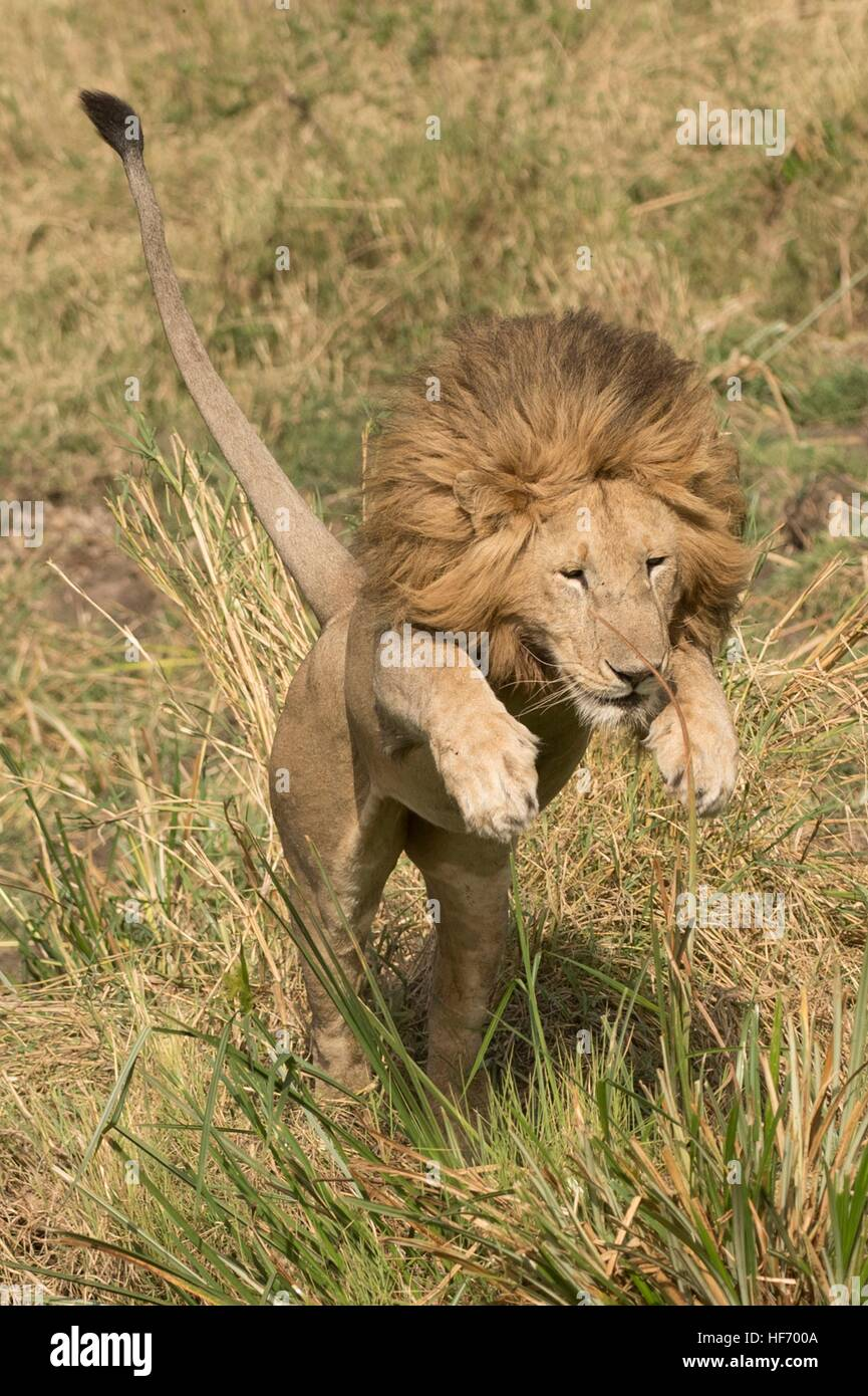 Lion leaping in grass Stock Photo