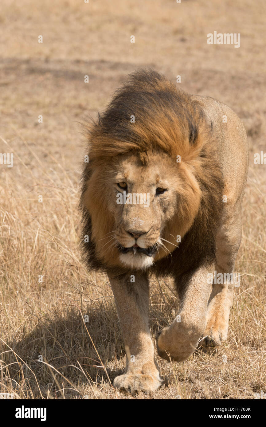 Male lion walking - Stock Image