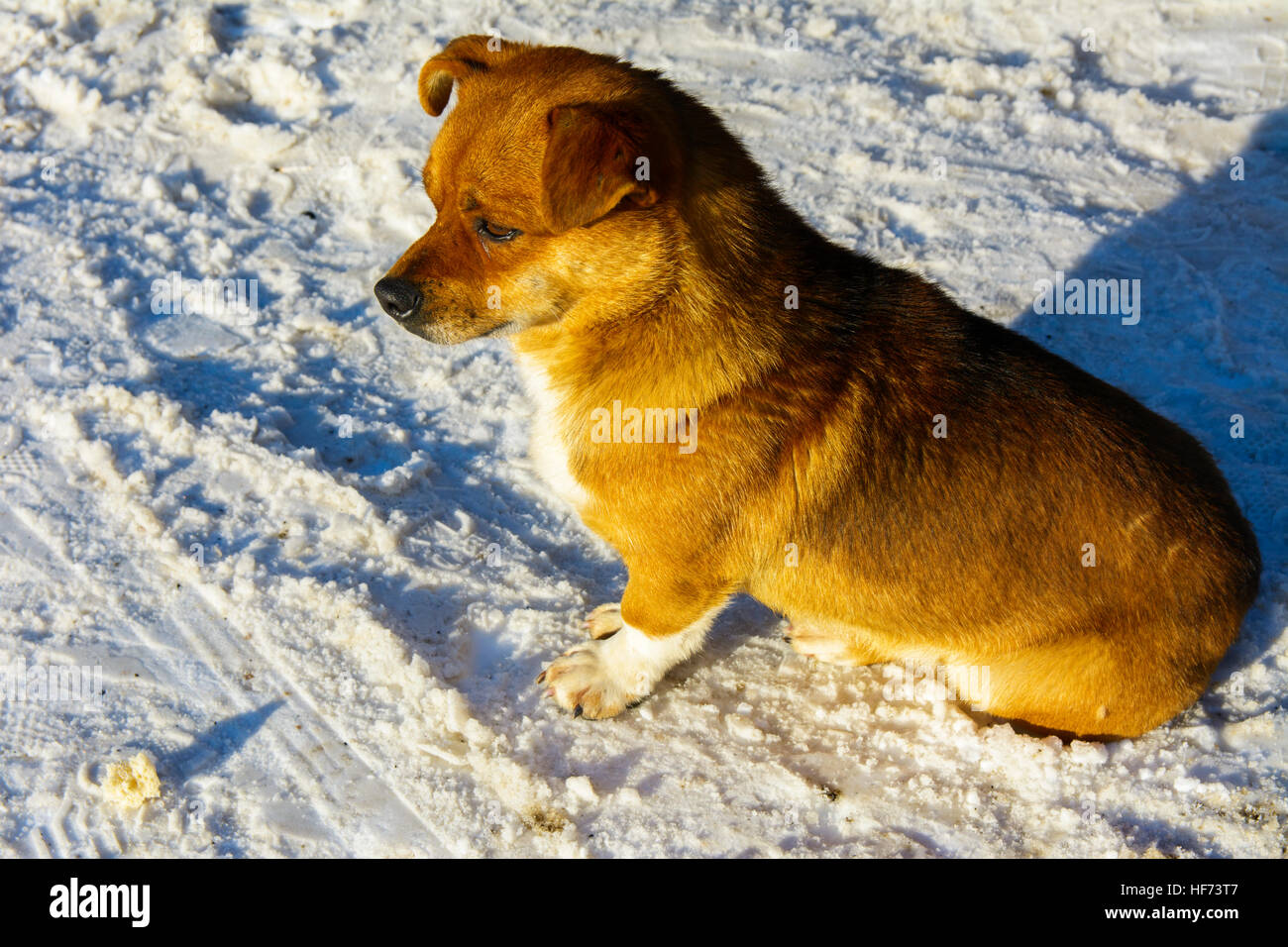 Small frozen non-pedigreed dog on snow in winter - Stock Image