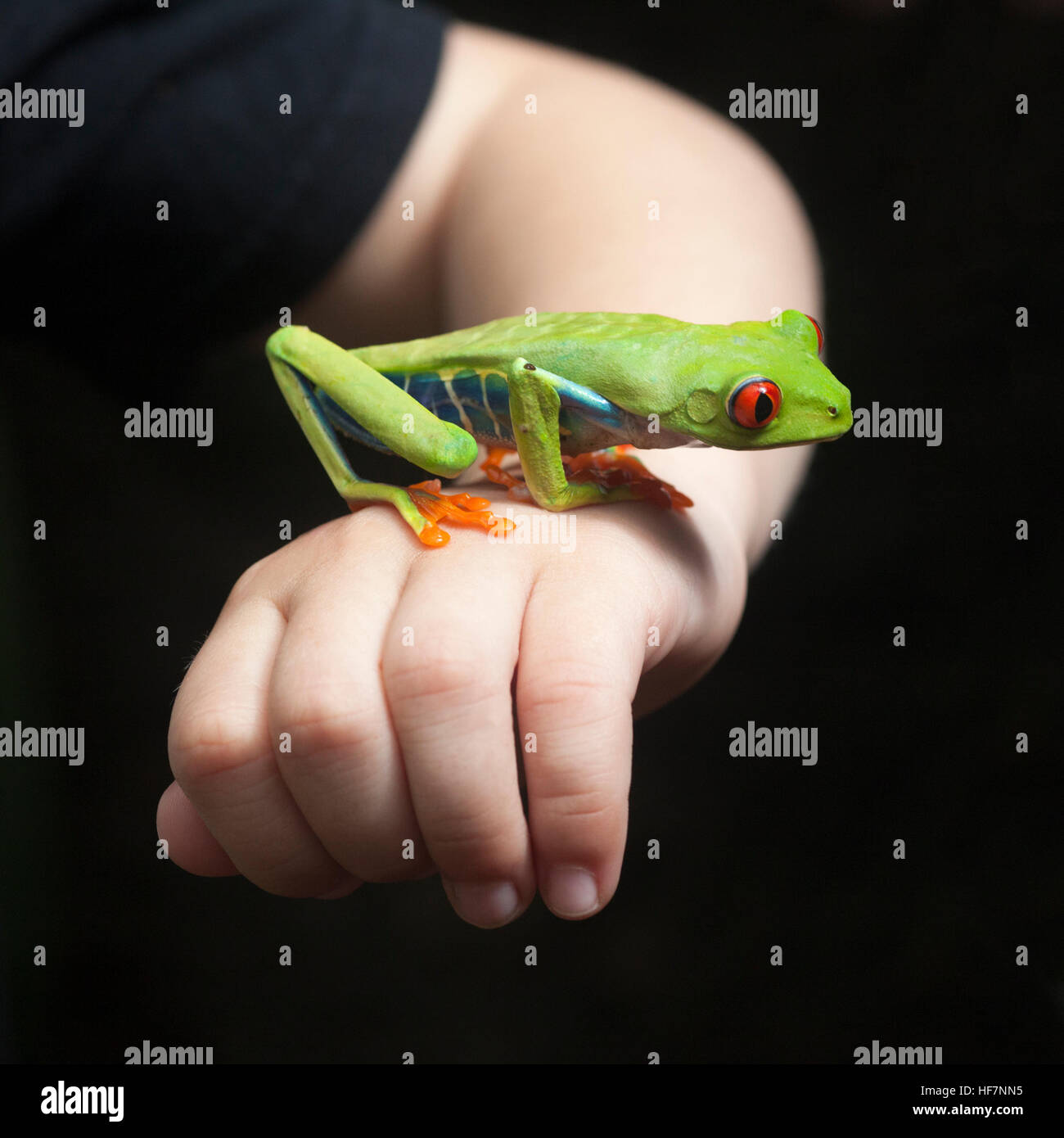 Red-eyed Tree frog (Agalychnis callidryas) on boy's hand Stock Photo