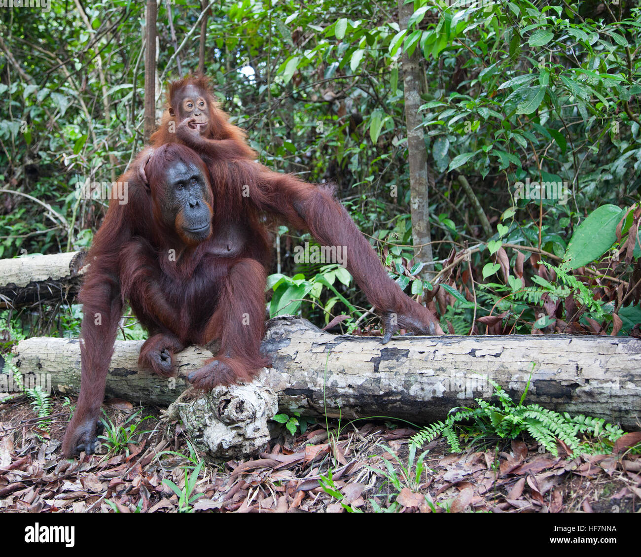 Wild Bornean Orangutan (Pongo pygmaeus) mother sitting on a log in forest with two year old baby clinging to her - Stock Image