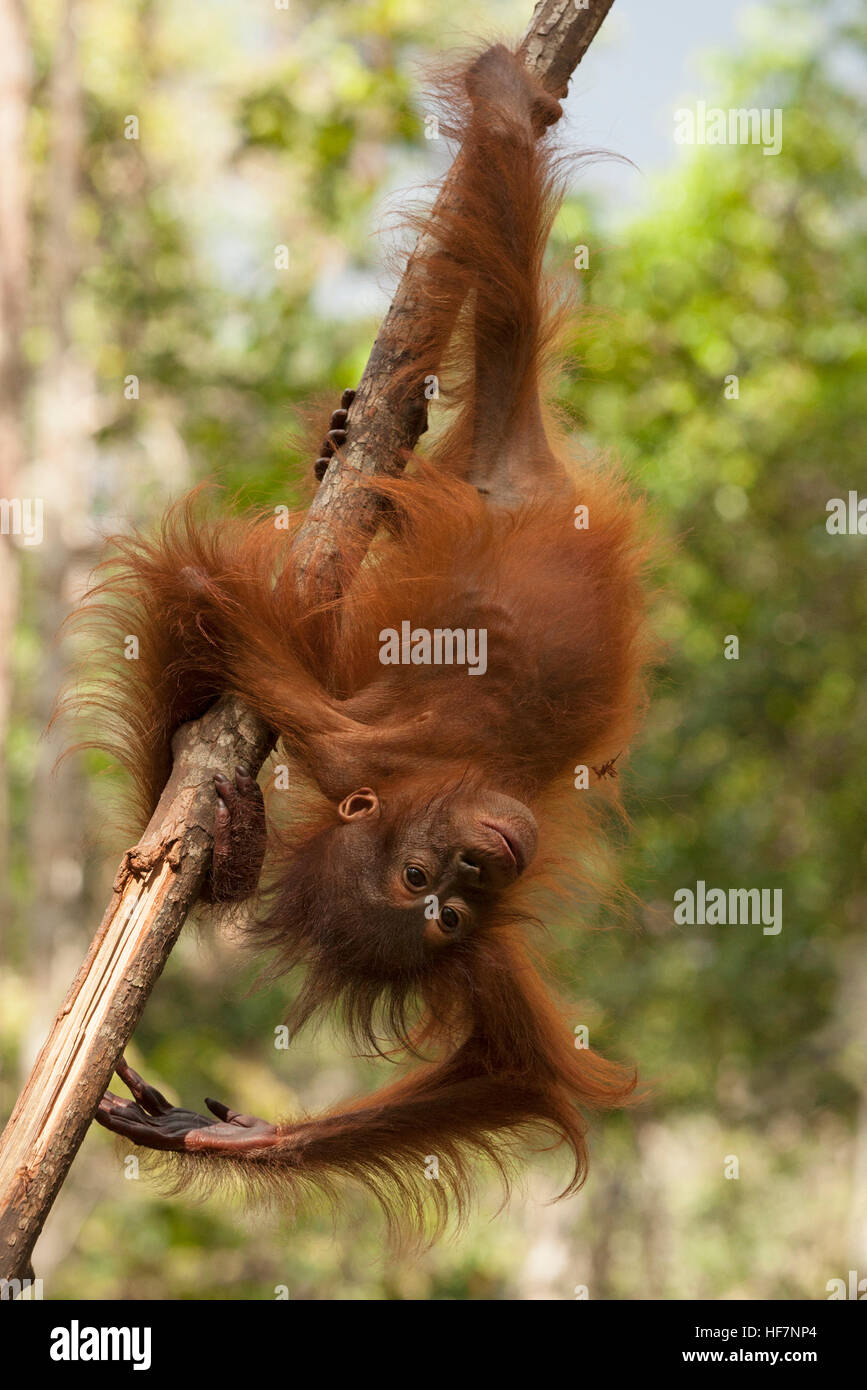 One-year-old wild Bornean orangutan (Pongo pygmaeus) swinging upside down from tree branch in Tanjung Puting National - Stock Image