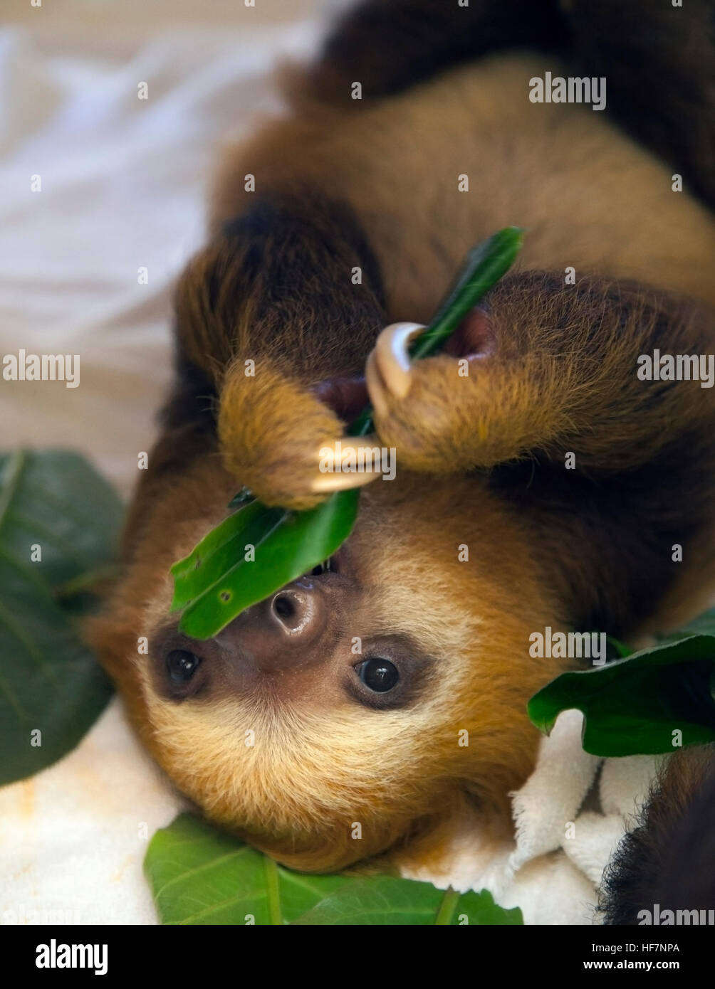 Baby orphaned Hoffmann's Two-toed Sloth (Choloepus hoffmanni) feeding on leaves at the Sloth Sanctuary Stock Photo