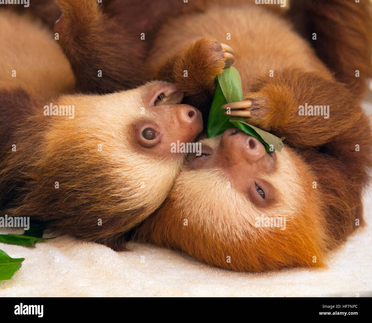 Baby orphaned Hoffmann's Two-toed Sloths (Choloepus hoffmanni) feeding on leaves at the Sloth Sanctuary - Stock Image