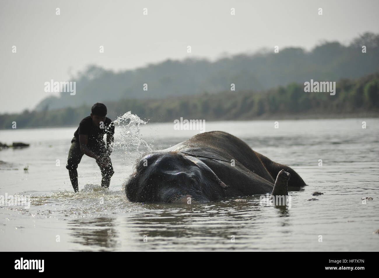 Kathmandu, Nepal. 27th Dec, 2016. A mahout baths his elephant 'LAXMI KALI' at Rapti River before participating - Stock Image
