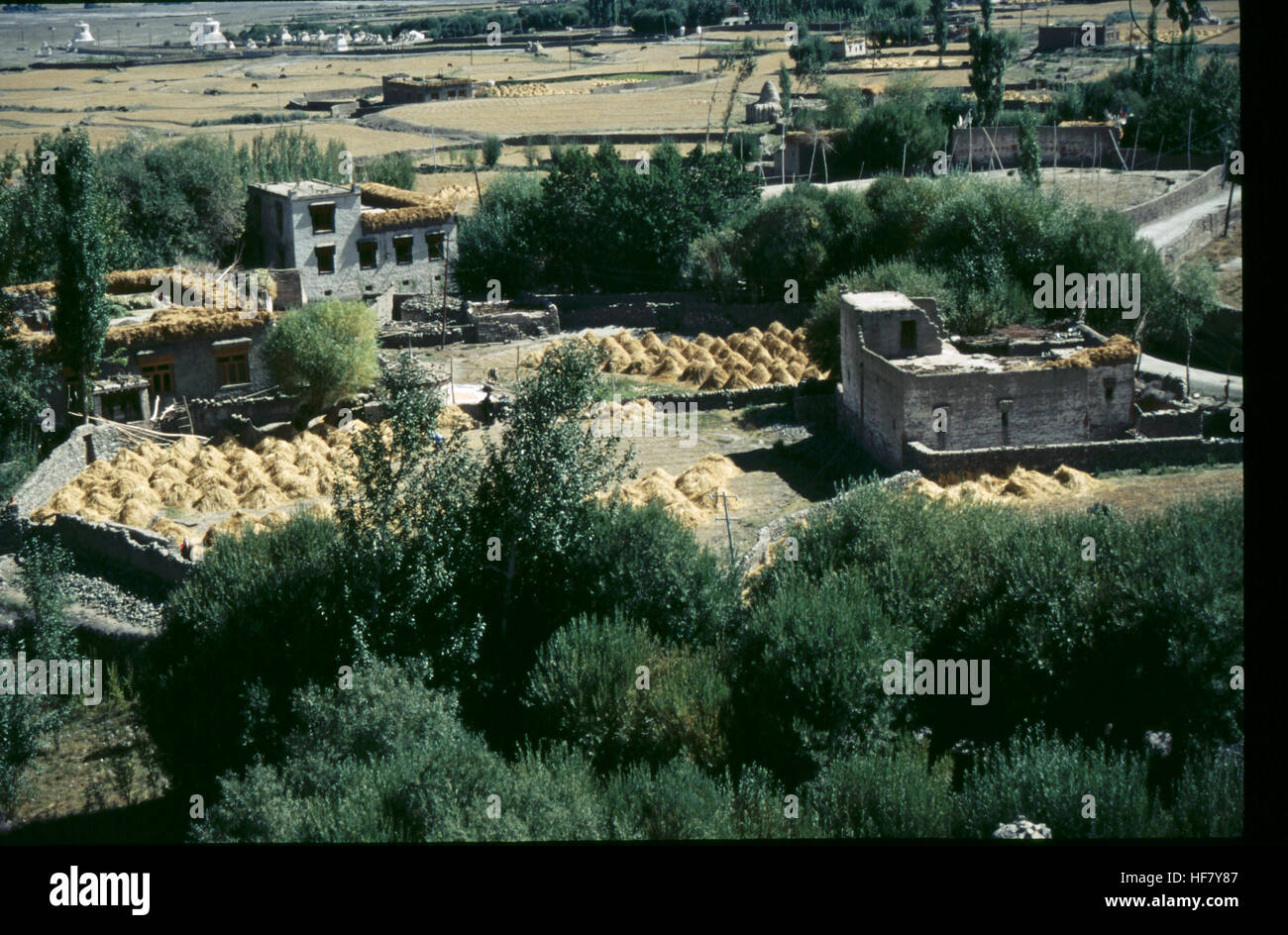 Barley harvest time in the village of Stok, seen from the Palace of Stok; near Leh, Ladakh, India.  Ladakhi houses - Stock Image