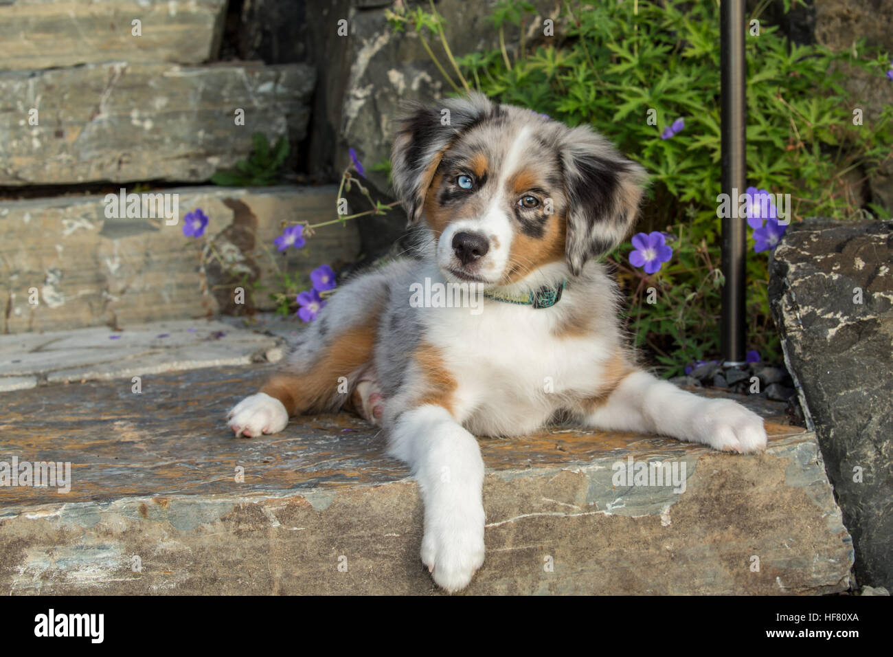 Blue Merle Australian Shepherd Puppy High Resolution Stock Photography And Images Alamy